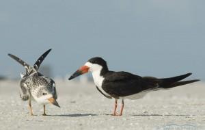 Juvenile and adult Black Skimmers