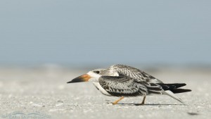 Black Skimmer juvenile creeping past