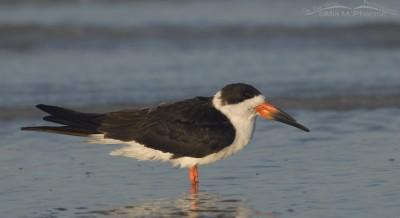 Gulf coast Black Skimmer