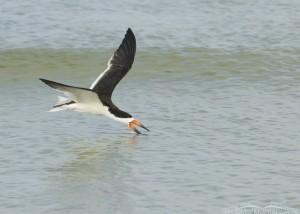 Skimmer skimming the Gulf coast of Florida