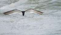 Gulf shore Black Skimmer foraging