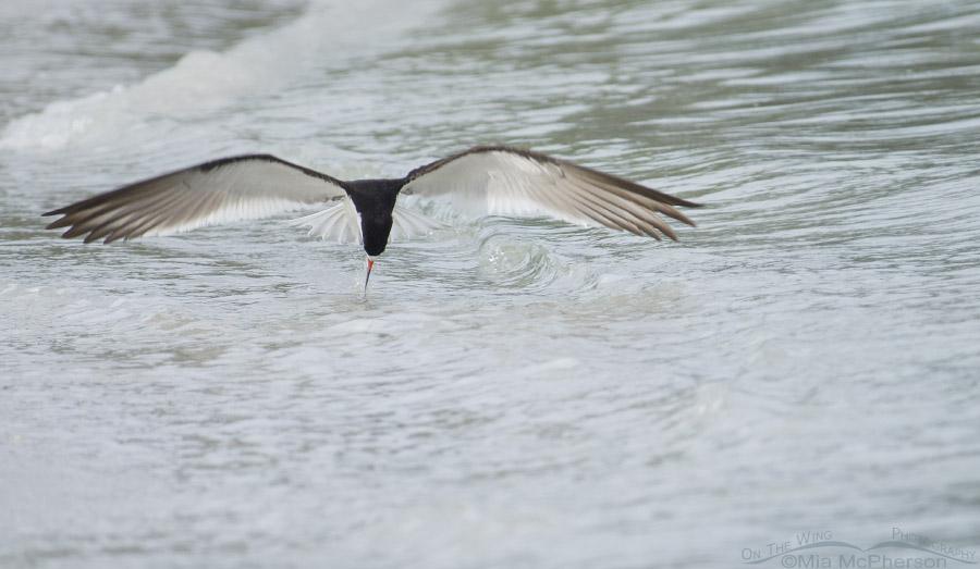 Gulf shore Black Skimmer foraging