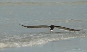 Black Skimmer just skimming along