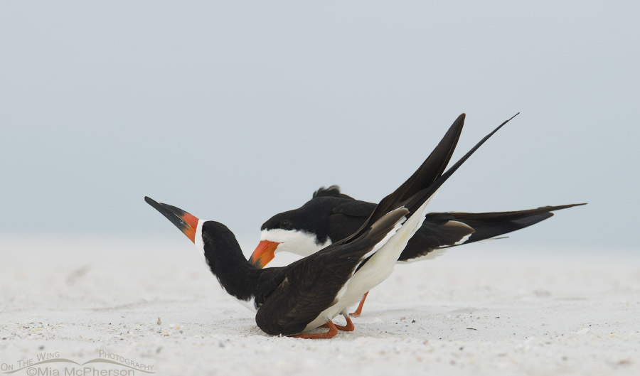 Courting Black Skimmers