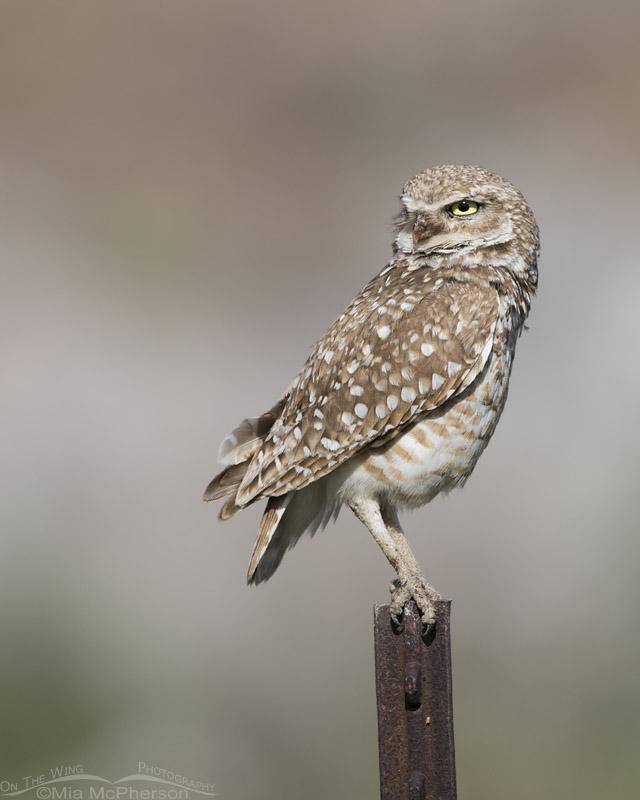 Male Burrowing Owl Standing Guard