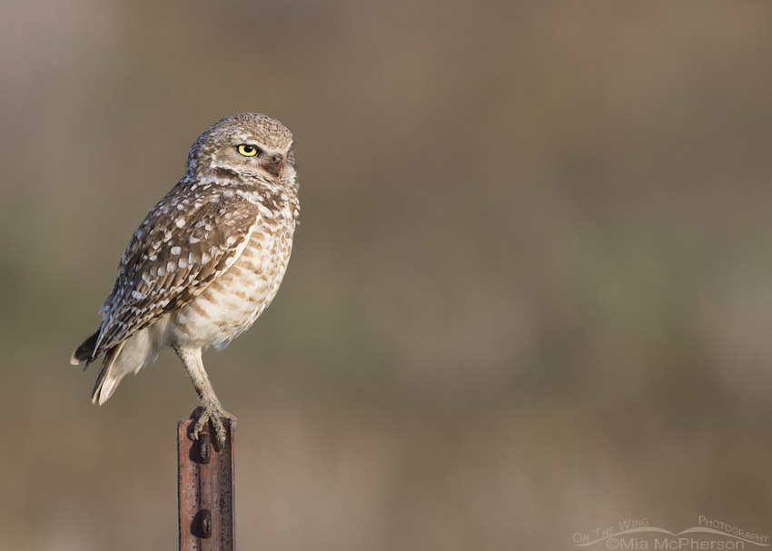 Adult male Burrowing Owl on a rusted pole