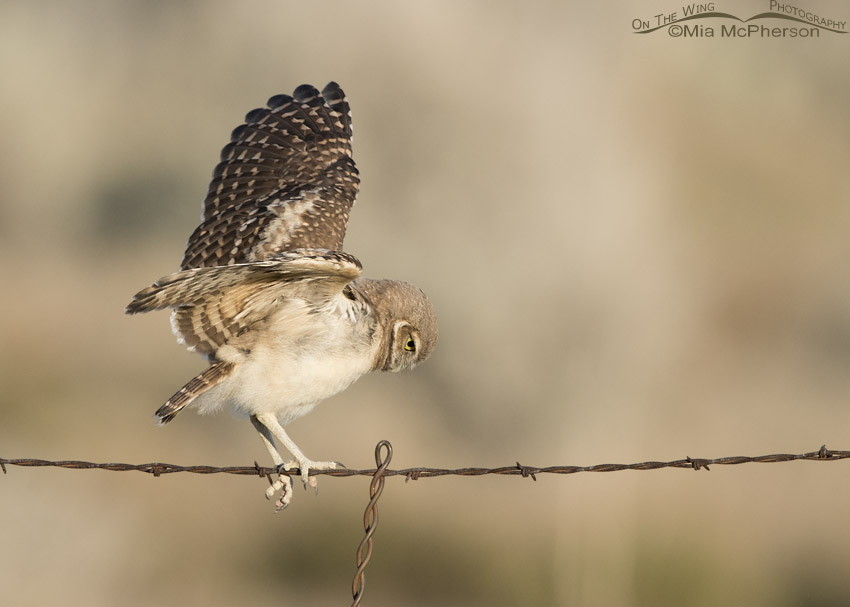 Juvenile Burrowing Owl balancing on wire