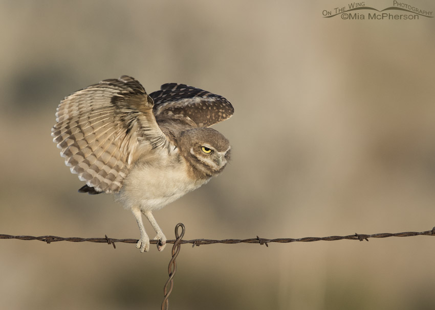 Young Burrowing Owl flapping its wings on a wire