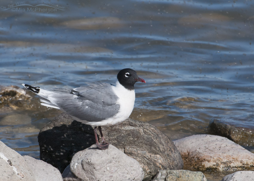 Franklin's Gull adult in breeding plumage