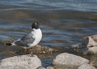 A Franklin's Gull feeding on Brine flies