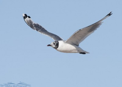 Franklin's Gull molting to nonbreeding plumage