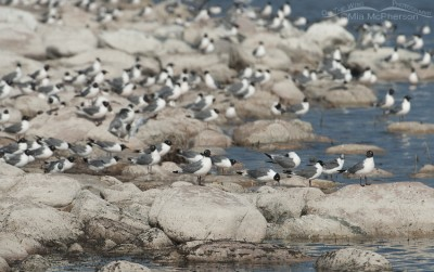 Hundreds of Franklin's Gulls feeding on the Great Salt Lake Brine flies