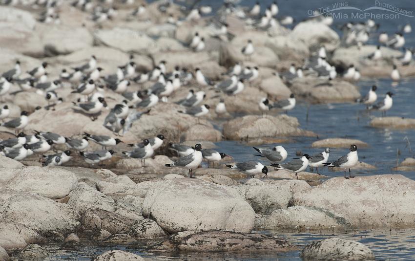 Hundreds of Franklin's Gulls feeding on the Great Salt Lake Brine flies