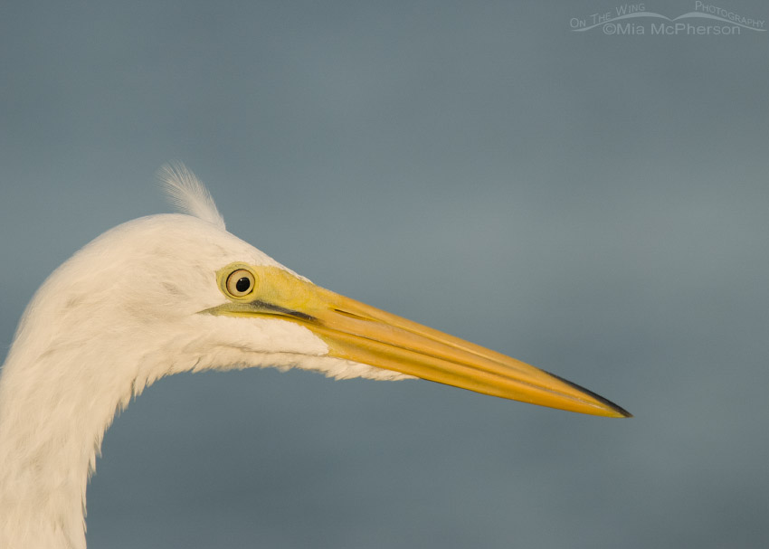 Great Egret with one loose feather