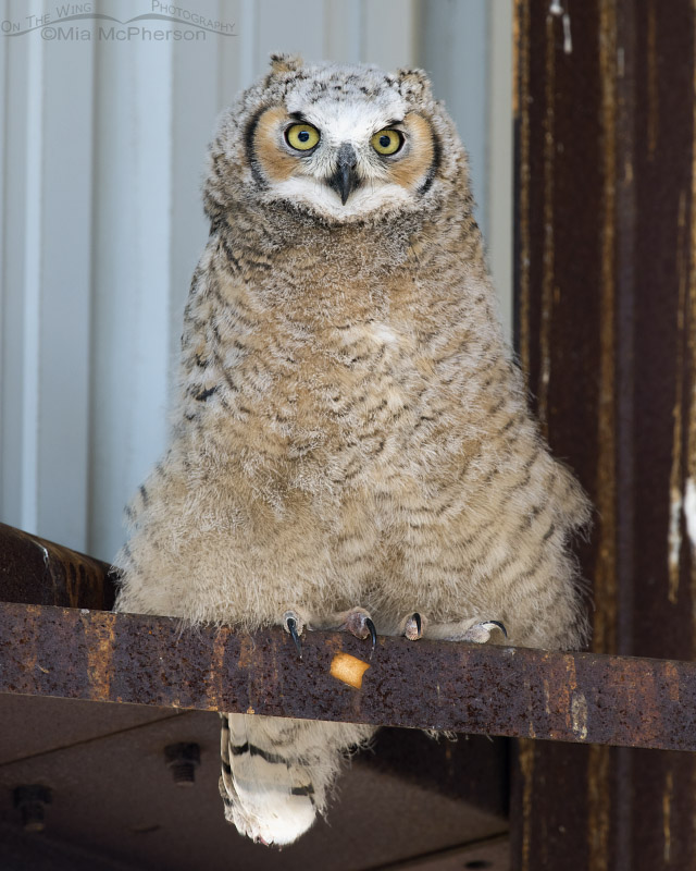 Great Horned Owl chick in a hay barn