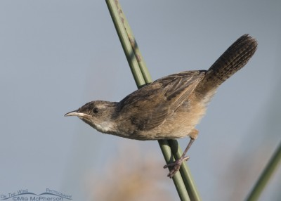 House Wren at Bear River