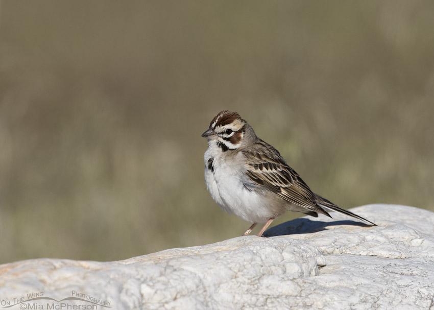 Lark Sparrow on a boulder