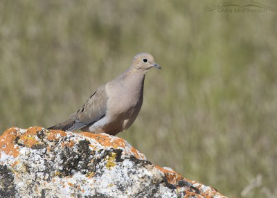 Male Mourning Dove about to take flight