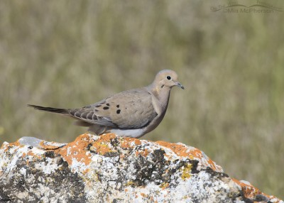 Mourning Dove on a lichen covered boulder