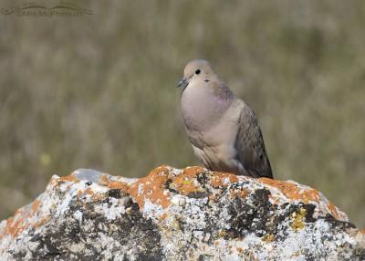 Box Elder County Mourning Dove male