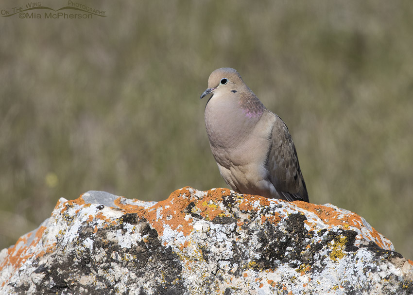 Box Elder County Mourning Dove male