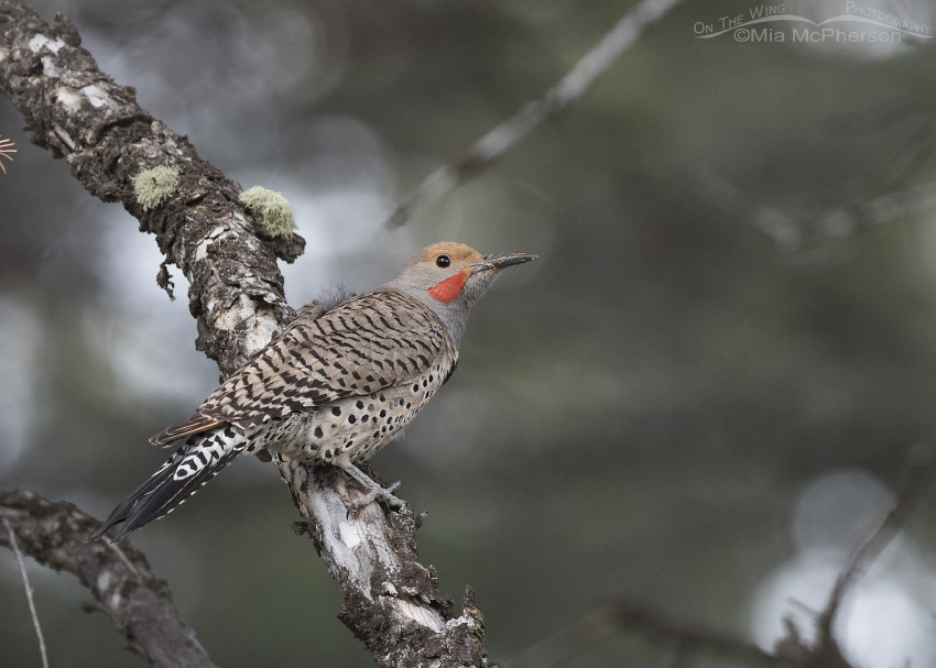 Male Northern Flicker perched on a conifer
