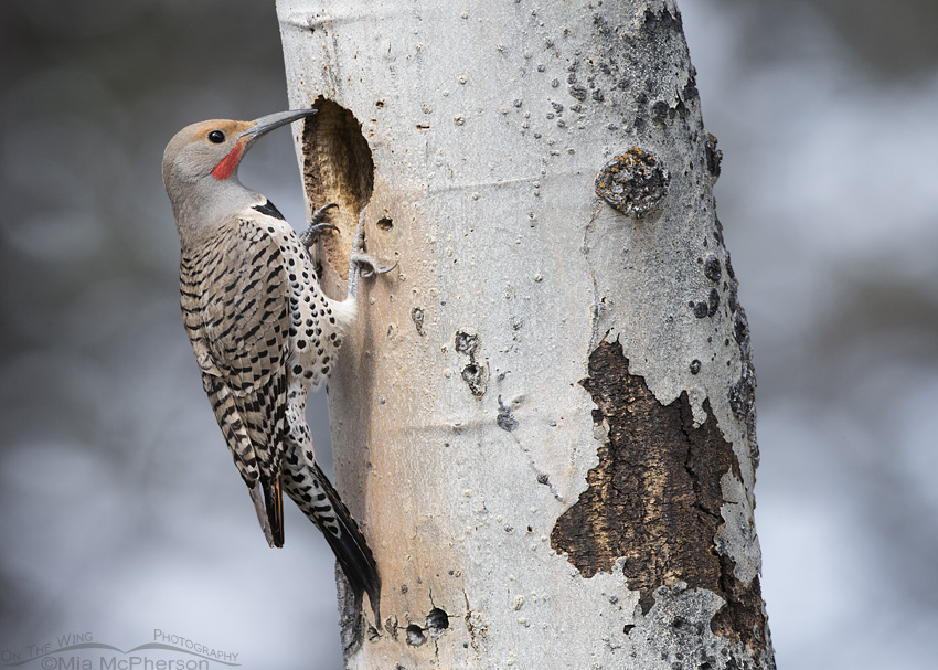 Northern Flicker male at nest