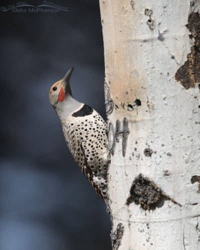 Male Northern Flicker on an Aspen