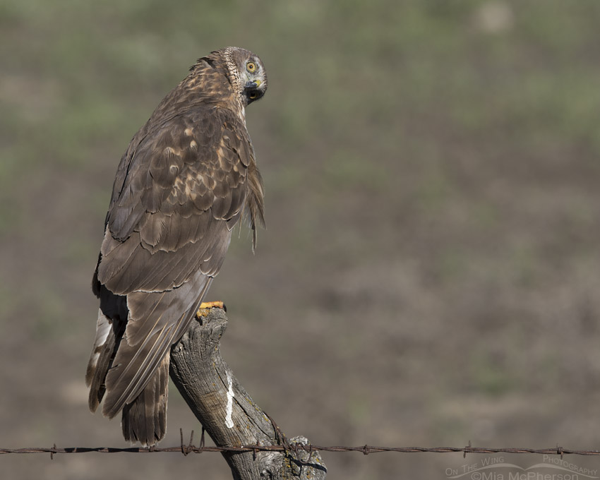 Goofy Northern Harrier