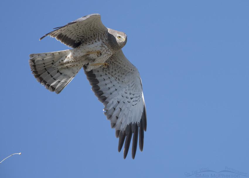 Northern Harrier defecating in flight