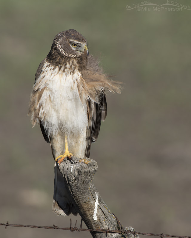 Northern Harrier preening in Box Elder County
