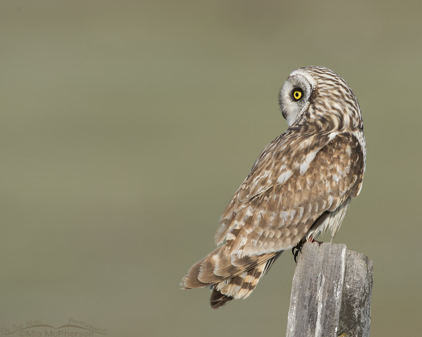 Short-eared Owl male hunting from a perch