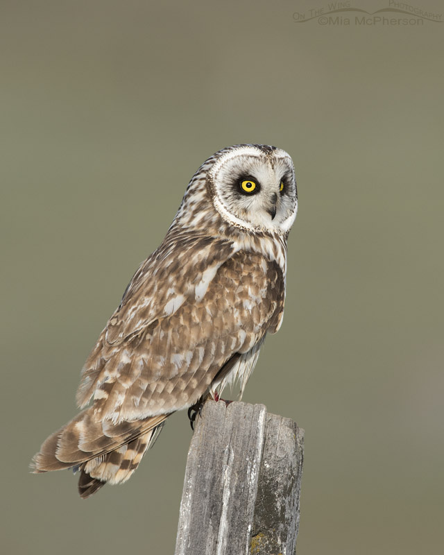 Male Short-eared Owl on a May morning