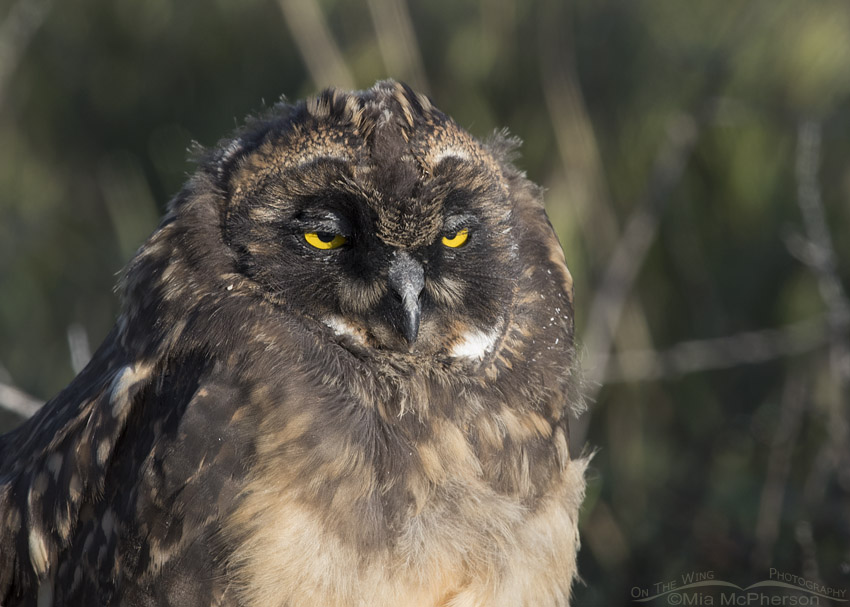 Short-eared Owl chick close up