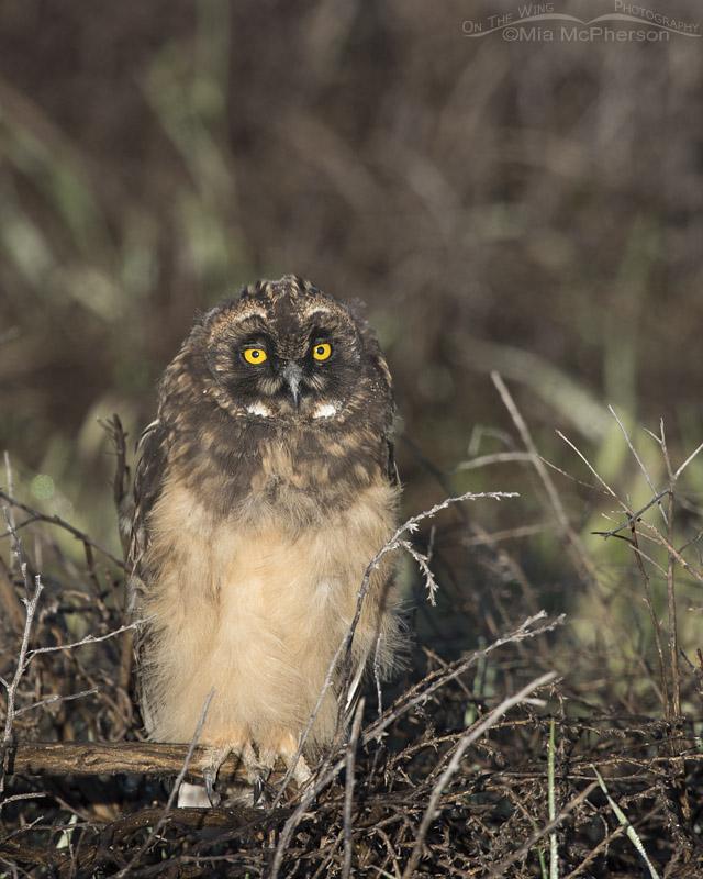 Short-eared Owlet in morning light