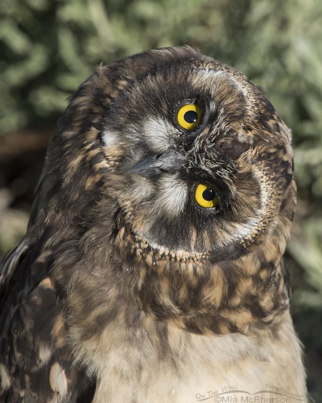Parallaxing Short-eared Owl chick