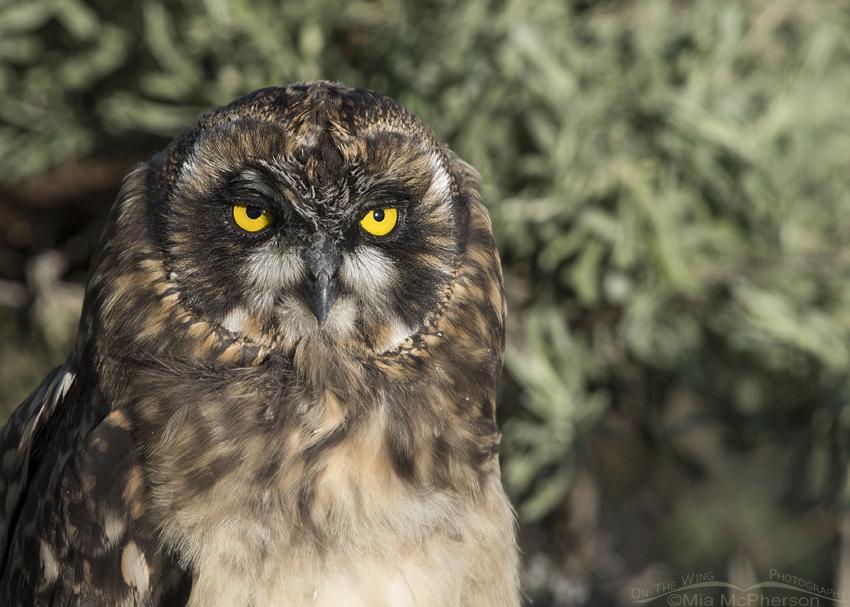 Short-eared Owl chick portrait