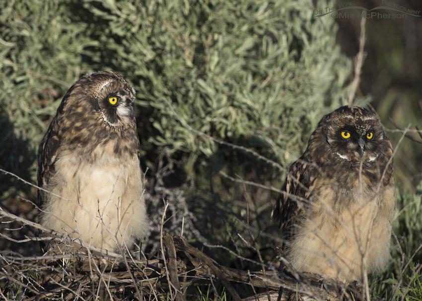 Two Short-eared Owl chicks