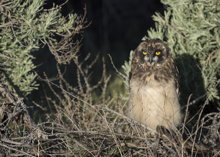 Short-eared Owl chick at sunrise