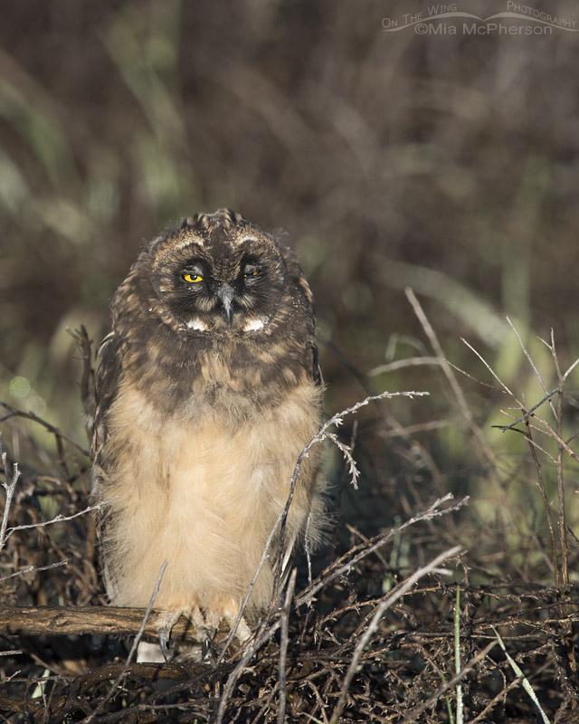 Winking Short-eared Owl chick