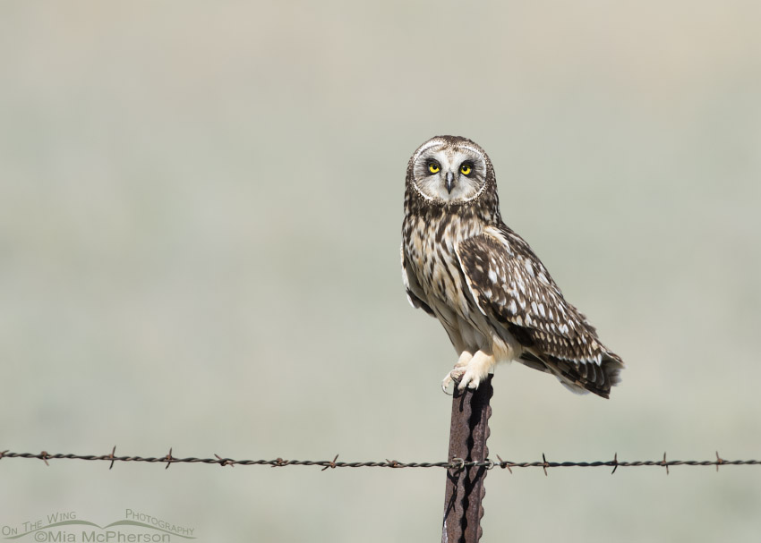 Perched female Short-eared Owl in Box Elder County