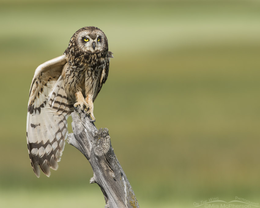Female Short-eared Owl stretching on a leaning fence post