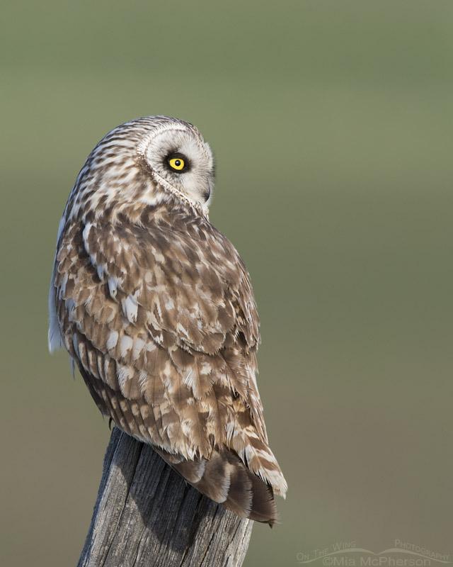 Short-eared Owl profile