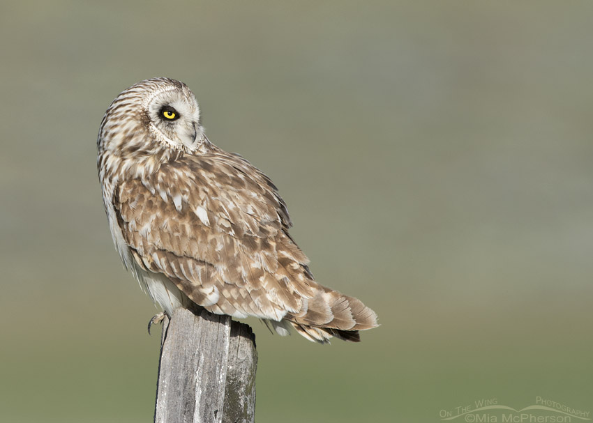Relaxed Short-eared Owl male