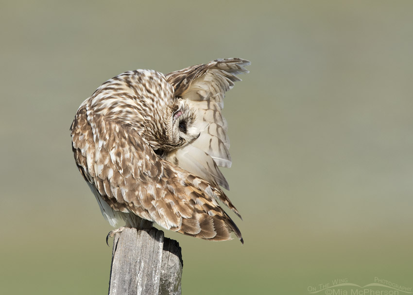 Male Short-eared Owl with exposed ear canal