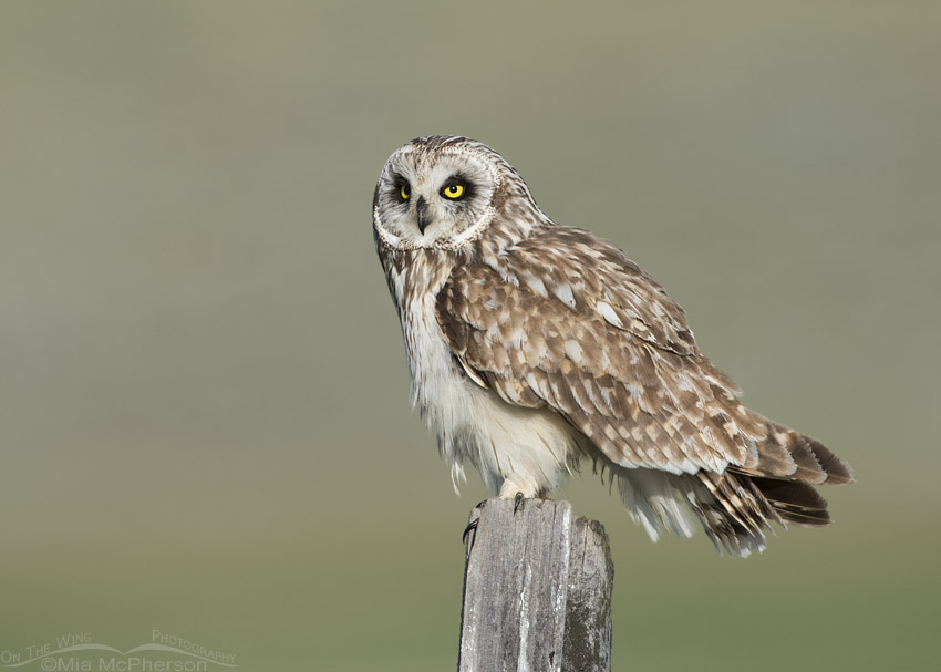 Short-eared Owl male after preening