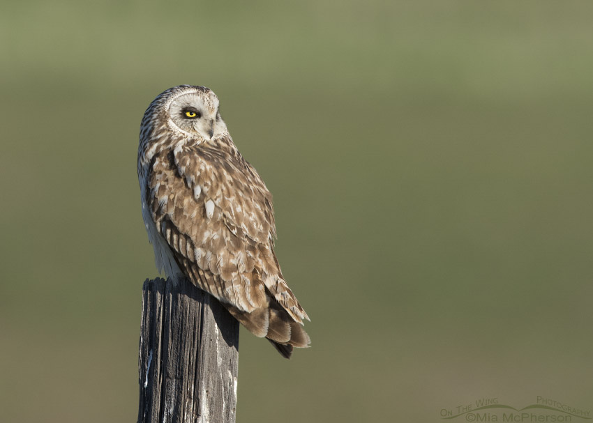 Male Short-eared Owl basking in sunlight