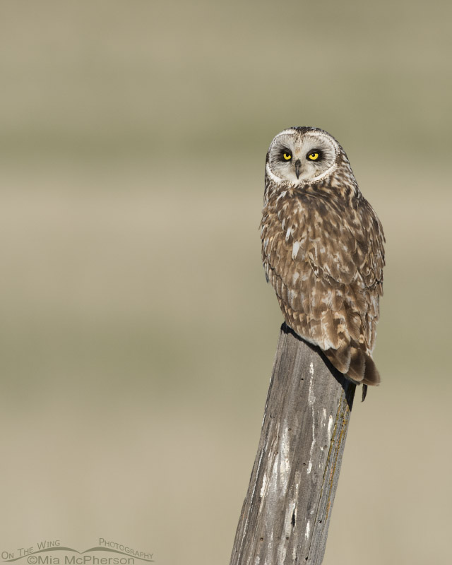 Watchful Short-eared Owl male