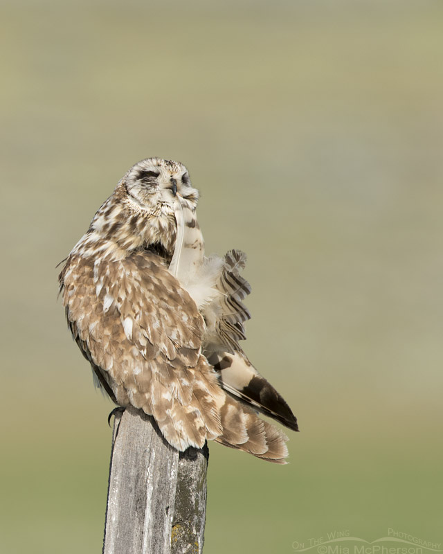 Short-eared Owl male with tail feather in its bill
