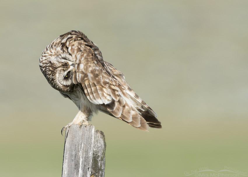 Short-eared Owl male preening under its wing